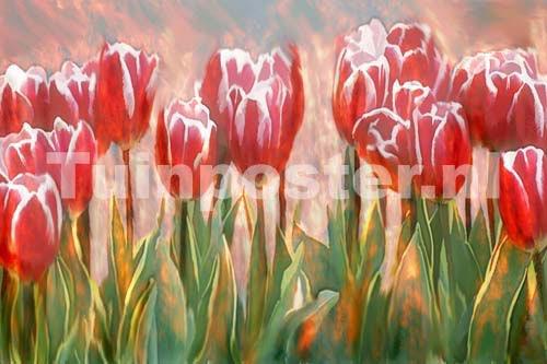 rote tulpen mit wei em rand in einem feld. Black Bedroom Furniture Sets. Home Design Ideas
