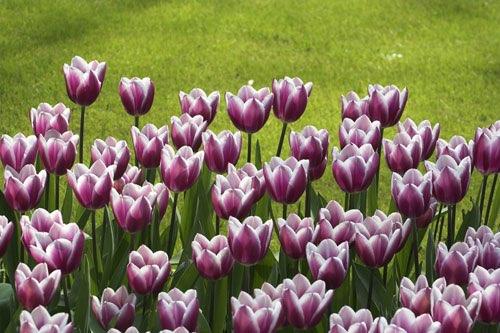 die donato tulpe in violett mit wei em rand. Black Bedroom Furniture Sets. Home Design Ideas
