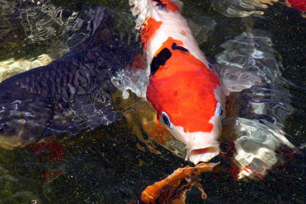 Orangewei gef rbter koi in einem teich for Koi und goldfische in einem teich