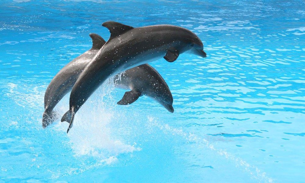 Best 10 Dolphins ideas on Pinterest  Water animals